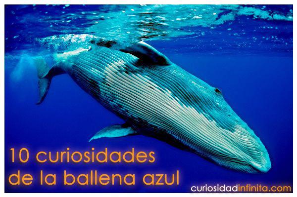 curiosidades de la ballena azul