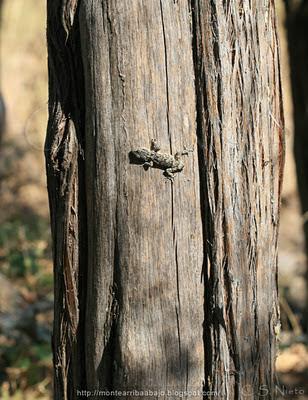 Tarentola mauritanica juniperus