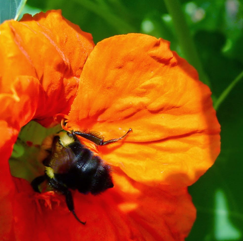 Bumble Bee on nasturtium, pollinators, urban farming