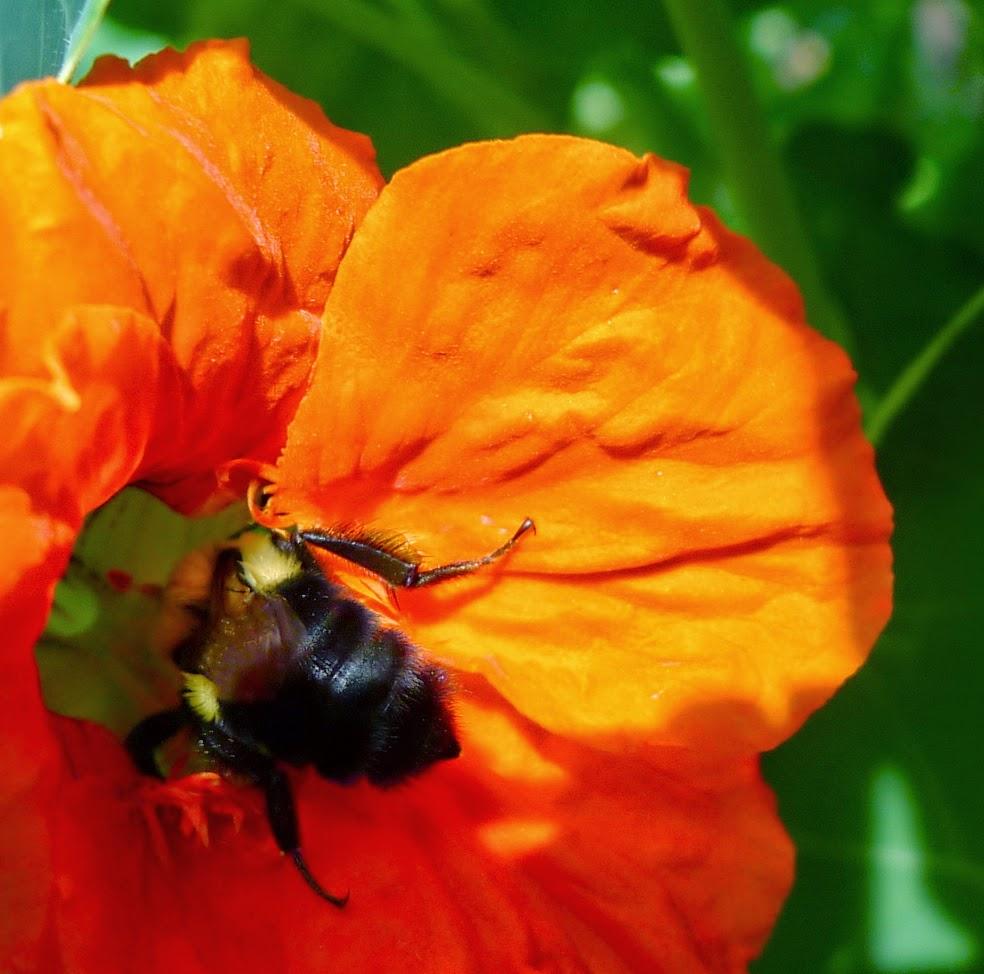 Bumble Bee on nasturtium, pollinators, urban farming
