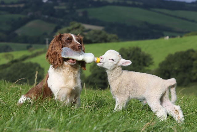 A sheepdog bottle-feeding baby lamb, Bottle-feeding