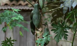 Yeşil Papaya