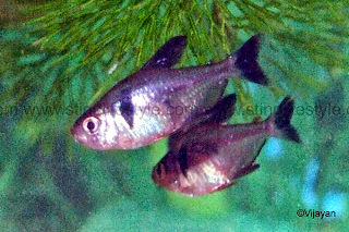 Black phantom tetra fish picture