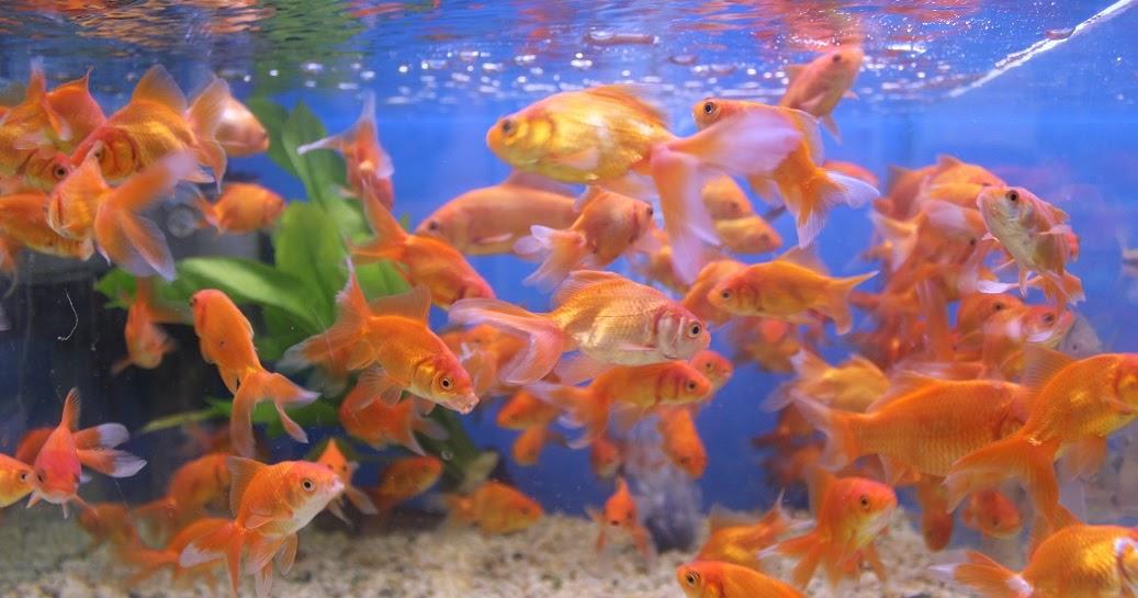 Peces ornamentales mascotas de ciudad por aqua20 for Acuarios de peces ornamentales