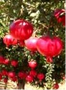 khasiat buah delima