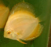 Golden Discus