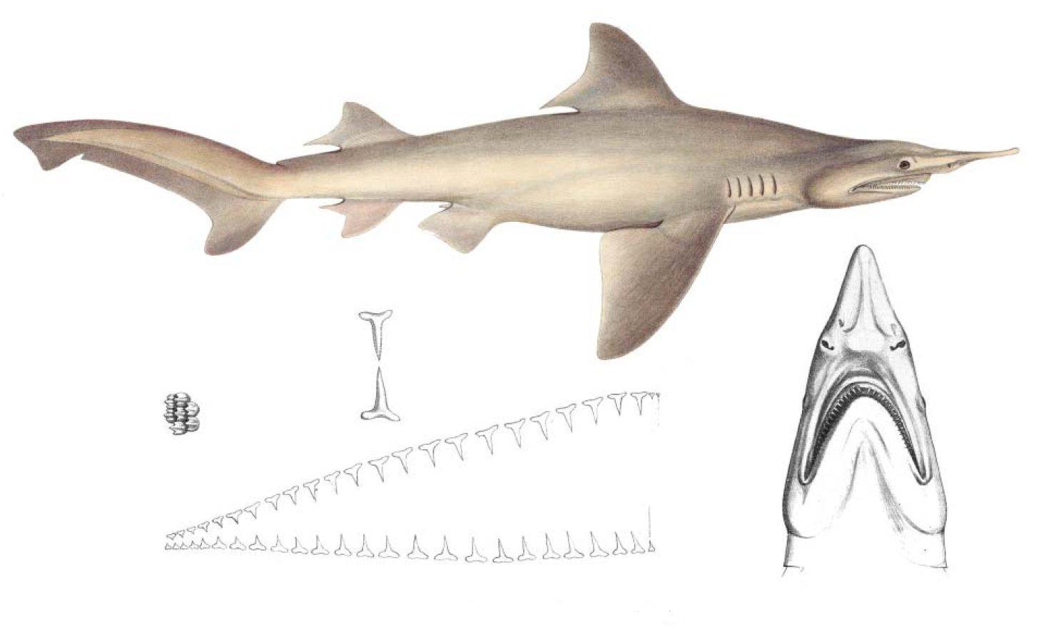 Lujo Anatomía Interna De Tiburón Cazón Composición - Anatomía de Las ...