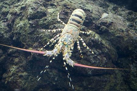 Ornate spiny lobster