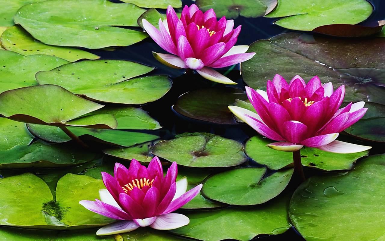 http://3.bp.blogspot.com/-uJz7kH0pBPE/Tu48b1qzvOI/AAAAAAAACN8/GmzymsXEcnA/s1600/water-lilies-wallpaper-1280x800-0147.jpg