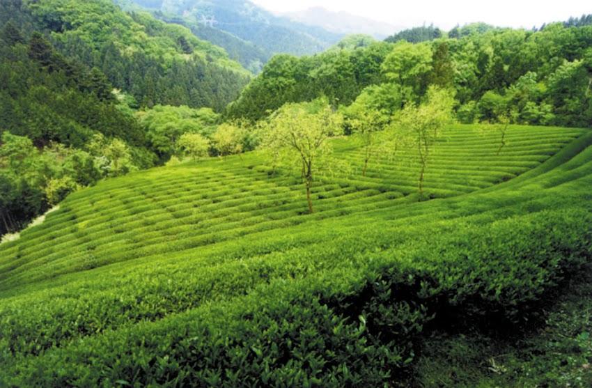 茶葉専門店 茶sasa茶