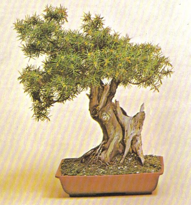 El arte del bonsai y mas el viejo arte del bonsai - Como se cuida un bonsai ...