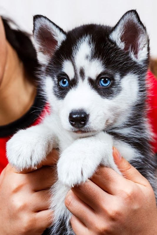 5 interesting facts about Siberian Huskies