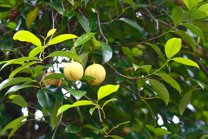old nutmeg tree with ripe fruit hanging on tree in penang malaysia