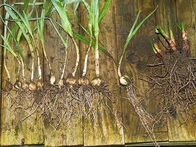 Babington leek, elephant garlic and air onion bulbs