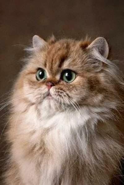 jenis-kucing-persia-himalayan_650214