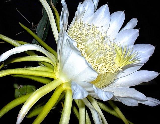 bunga tanaman buah naga