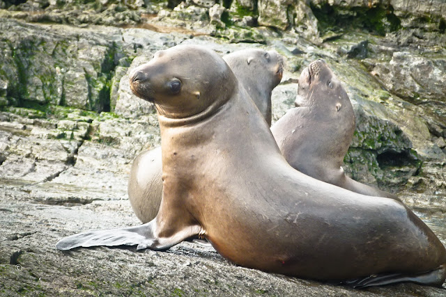 Seehunde im Beagle-Kanal, Feuerland