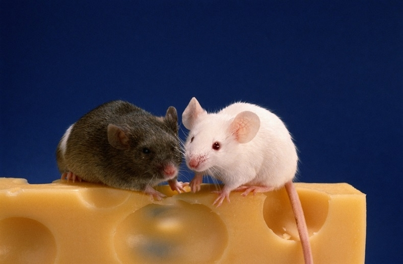 do mice eat cheese