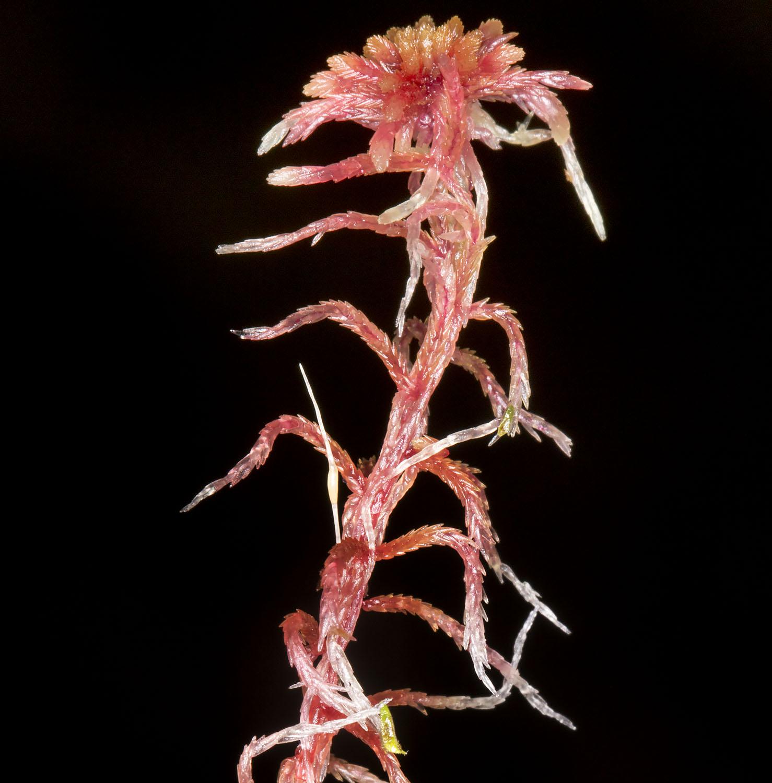 Sphagnum capillifolium subsp. capillifolium.  Keston Common, 10 December 2014.