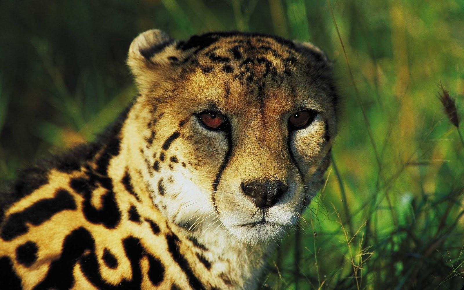 gambar macan tutul - gambar macan - gambar macan tutul