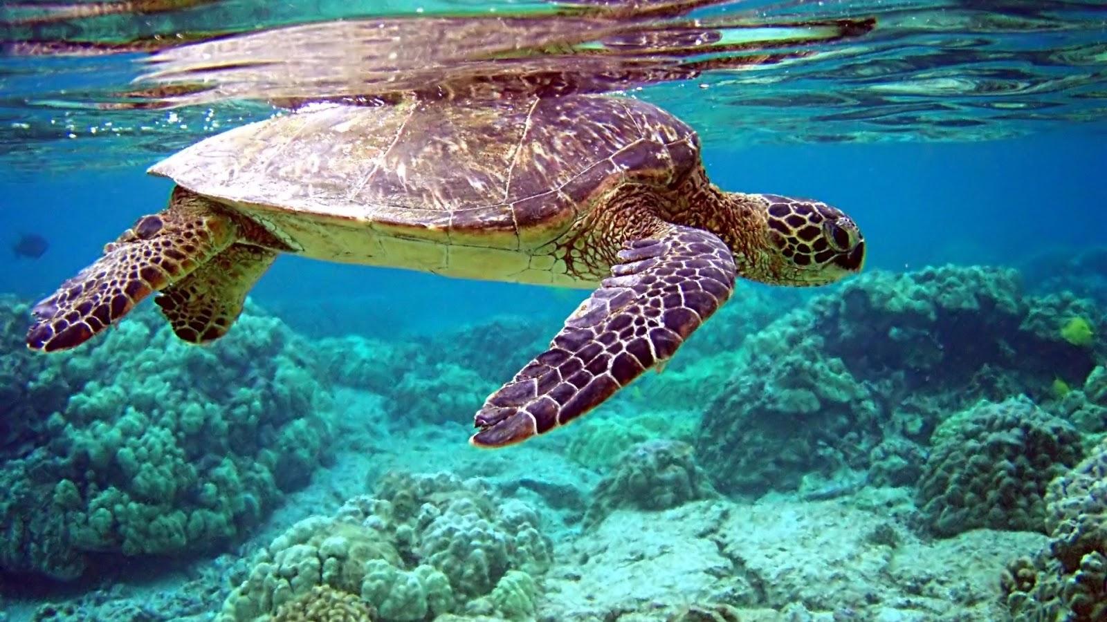 http://3.bp.blogspot.com/-uLKNopIwUzQ/UHa7r07ufdI/AAAAAAAAGmc/3tY9dUshElc/s1600/Sea_Turtle_Wallpaper_6.jpg
