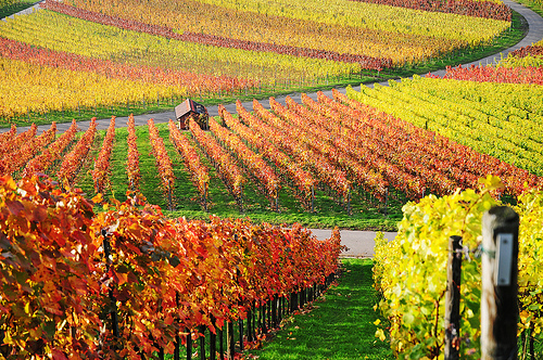 Autumn At The Vineyard5