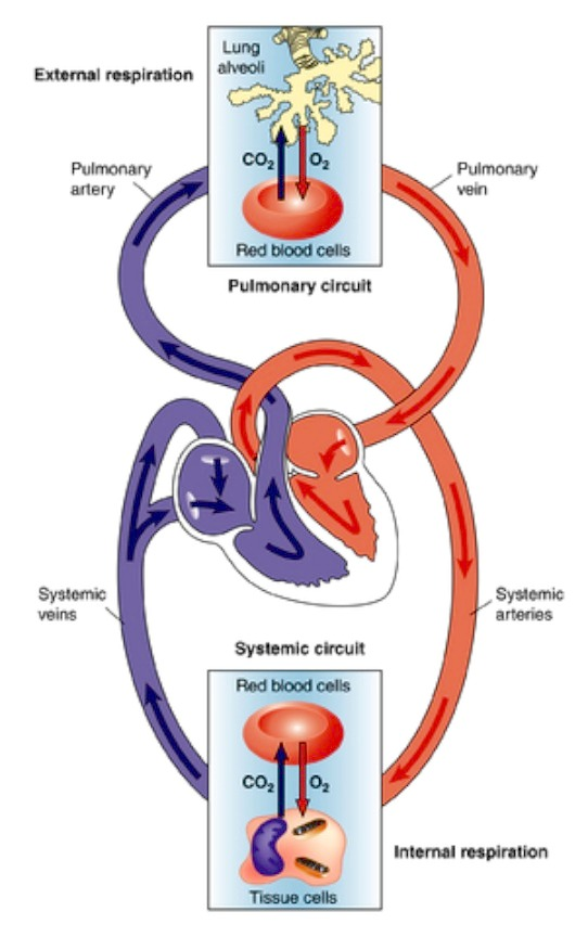 Circulatory System Muscles Sport Science