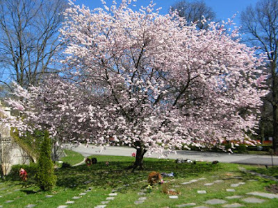 Blooming flowering Amanogawa Japanese cherry tree at Mount Pleasant Cemetery by garden muses: a Toronto gardening blog