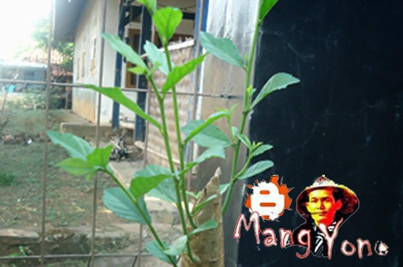 Cara membindahkan tanaman dari pot ke tanah langsung