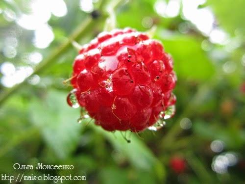 малинка после дождя, мокрая малина, ягода малина
