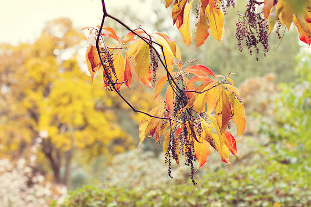 golden foliage at Branklyn Garden