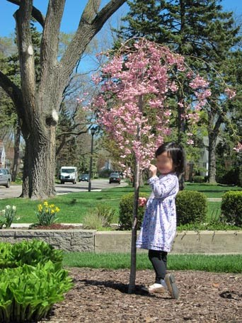 now a Weeping Cherry tree.