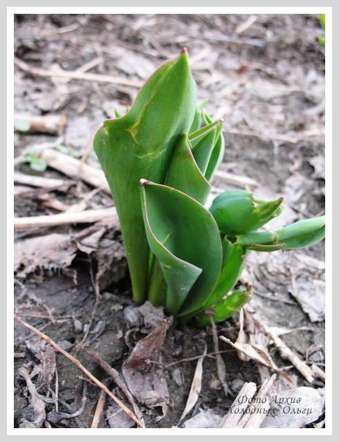 Тюльпаны приличные