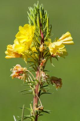 Tall Yellow Evening Primrose Flower, Jack's Cabin Cutoff