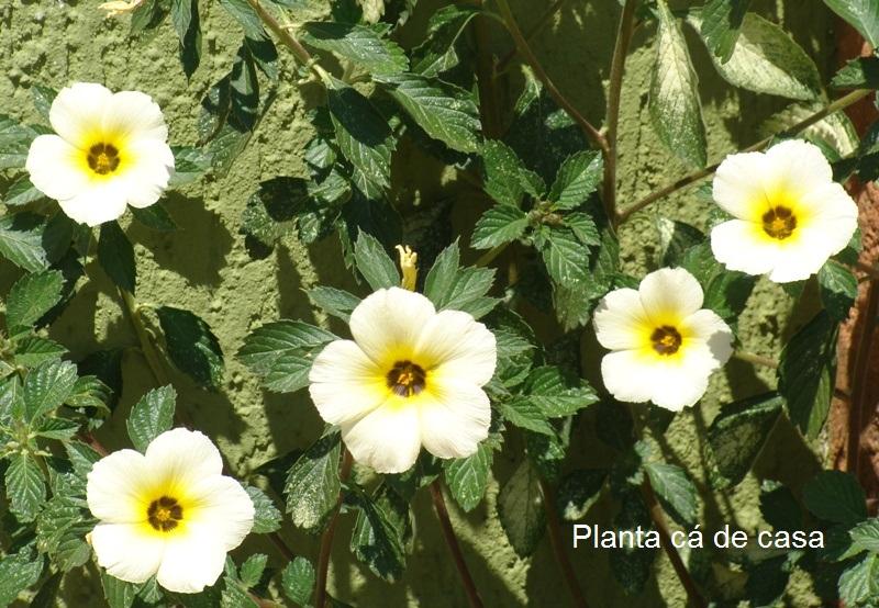 Planta de pleno sol, multiplicase por estacas e por sementes Se