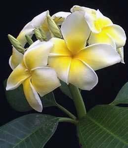MManfaat Bunga Kamboja