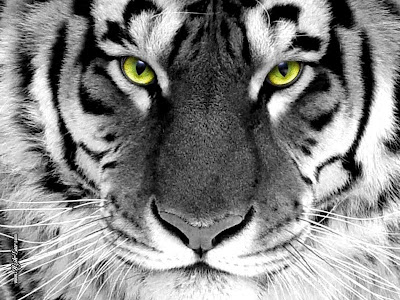 Download Free Tiger White Wallpaper