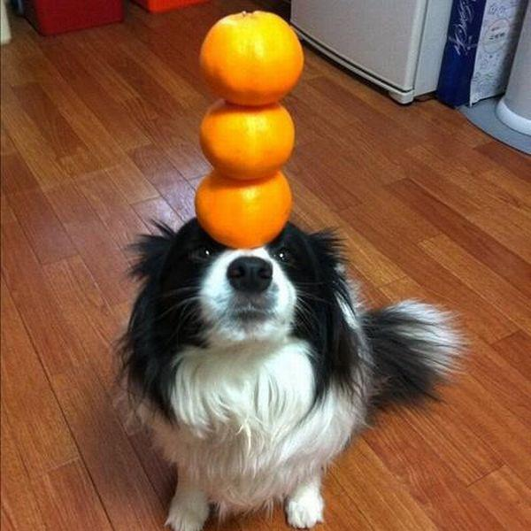 talented dog balancing three orange on his head, funny animal pictures of the week