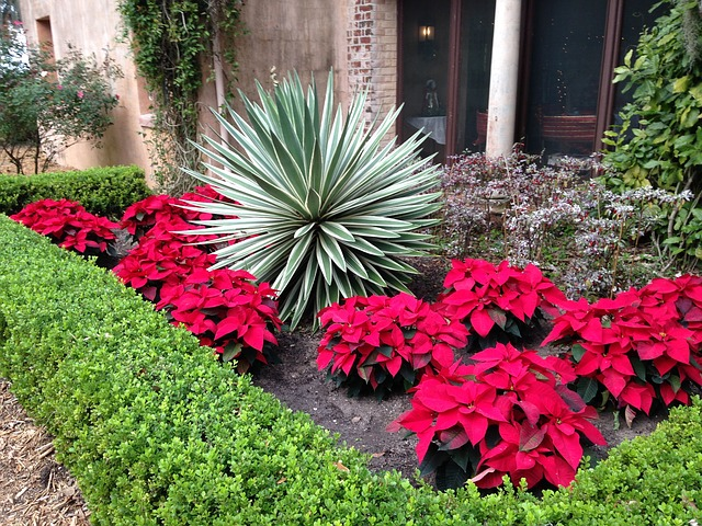 Yard And Garden Secrets Caring For Christmas Poinsettia