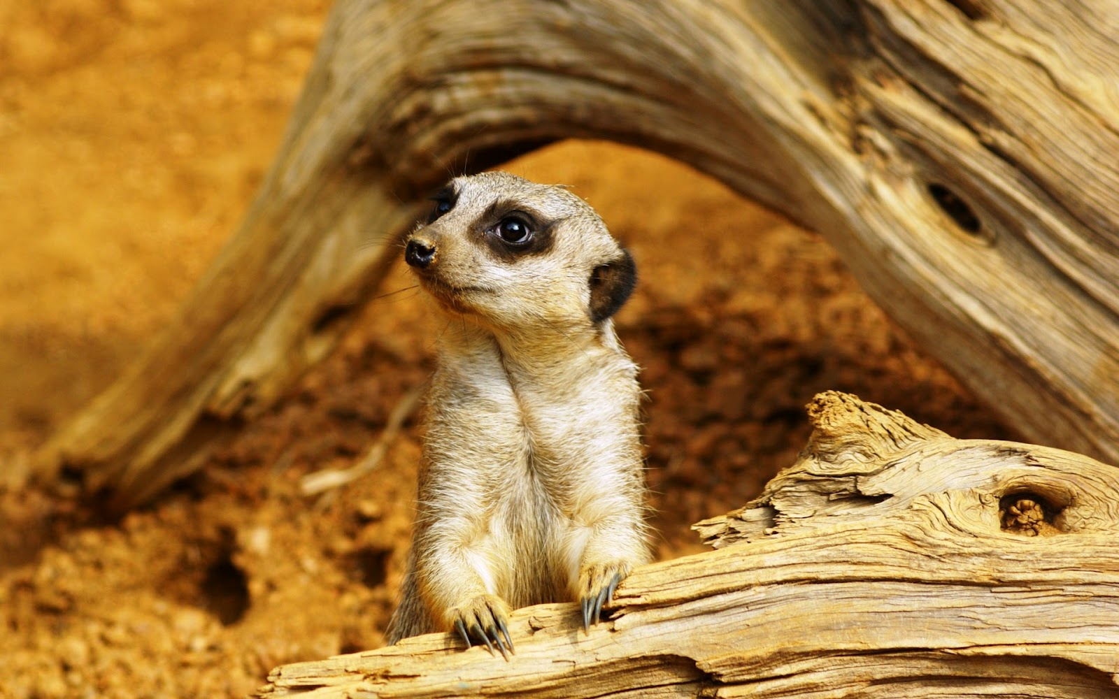 Meerkats wallpapers fun animals wiki videos pictures for And pictures