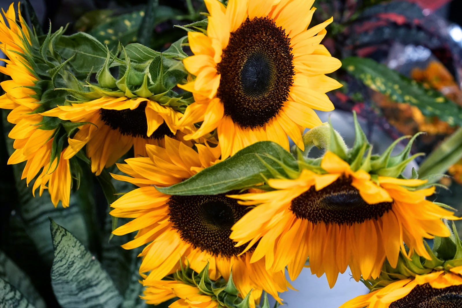 fresh sunflowers