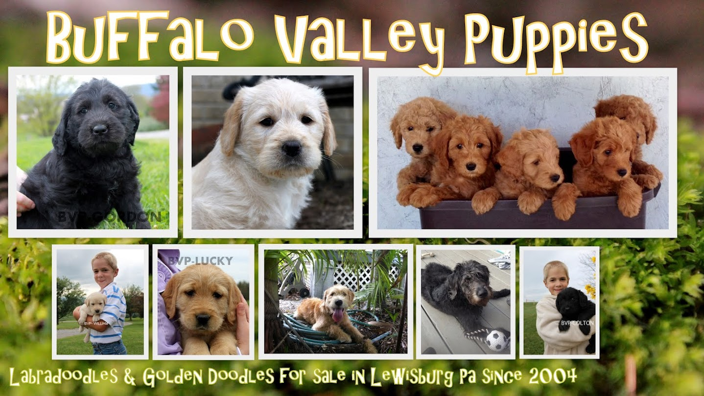 Buffalo Valley Puppies (Labradoodles And Goldendoodles)