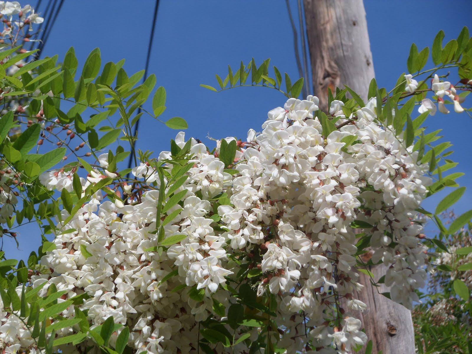 Flors blanques