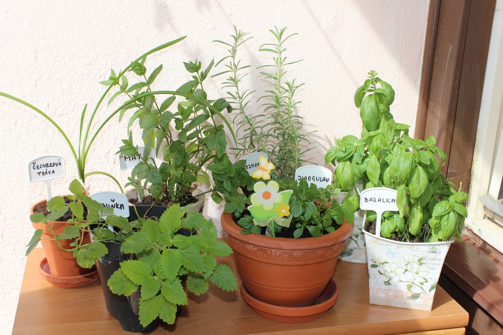 ženšen pětilistý pěstování