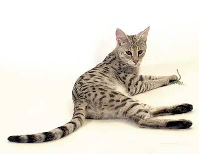 Kesilapan Yang Paling Biasa Dibuat Oleh Pemilik Kucing