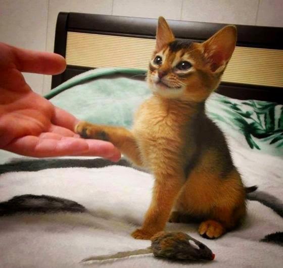 Смешной котенок дает лапу