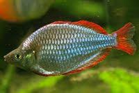 Freshwater Aquarium Melanotaenia Praecox Neon Rainbowfish