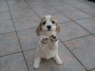 English Cocker Spaniel Puppy Picture
