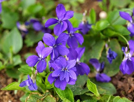 Violetas (Viola odorata)