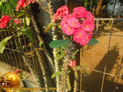 Cara mengobati sakit gigi dengan bunga euphorbia.